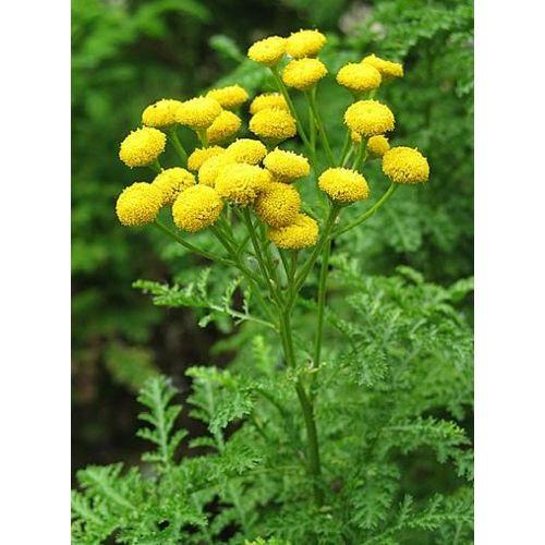 35 Graines de fleurs Souci Officinal Méthode BIO seeds jardin ami potager légume