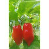 Piment Légumes-Piment - Habanero Blanc 20 graines