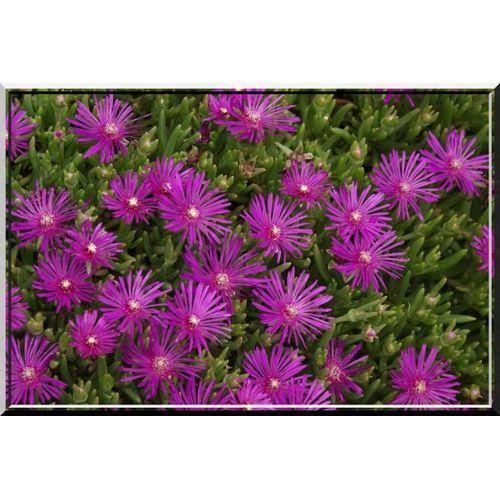 Verbascum Phoenicum Violet Rose 400 graines Violette roi Bougie